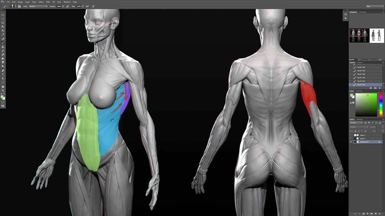Zbrush anatomy model