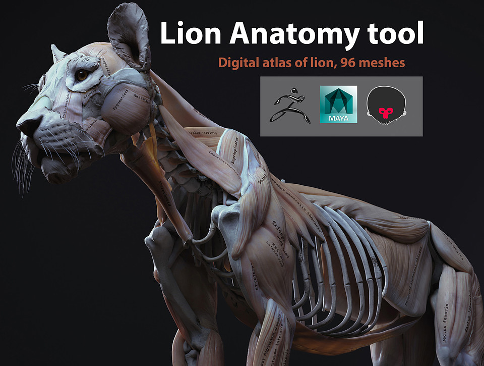 Lion Anatomy