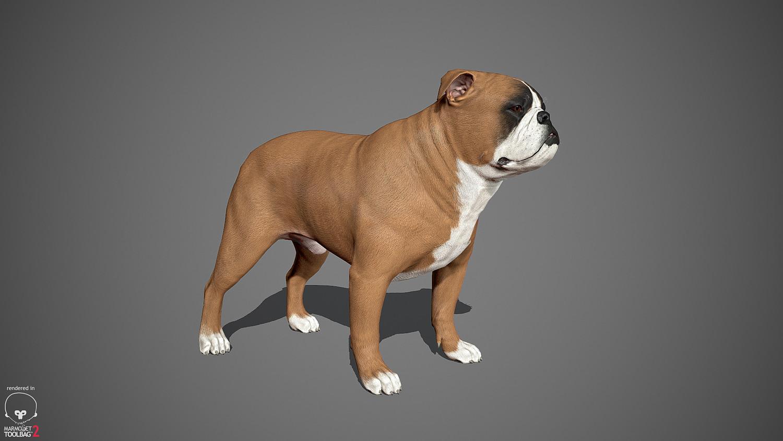 English Bulldog Real-Time