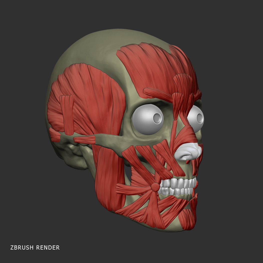 Head Anatomy Muscles