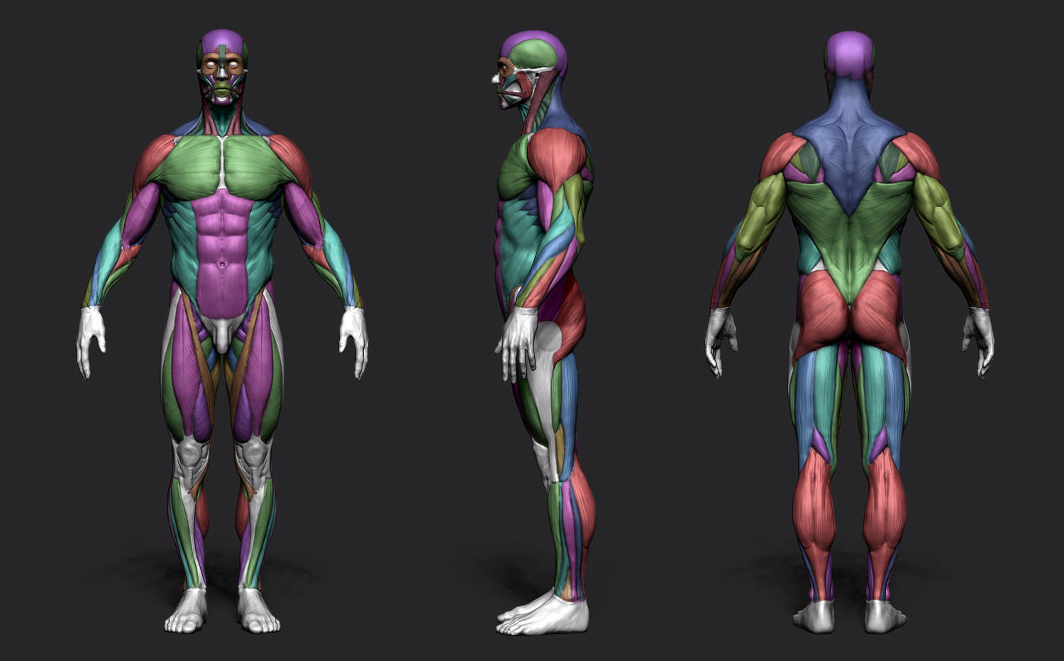 Anatomy Male Tool Reference For Artists